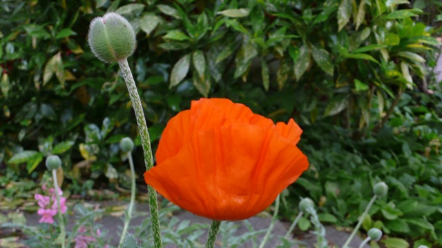 2008-Poppies1.jpg