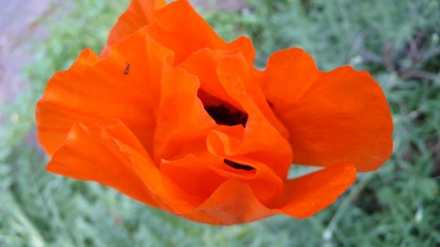 2008-Poppies2.jpg