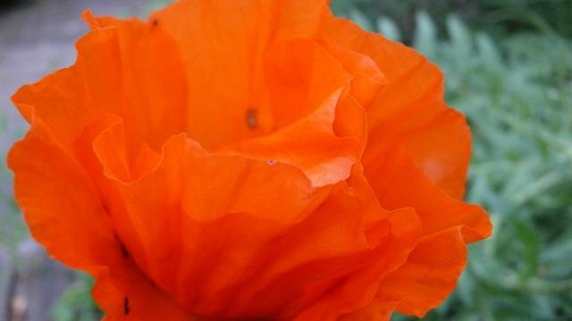 2008-Poppies6.jpg